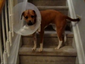 Dog With Cone Climbs Stairs