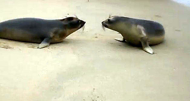 Two Seals Kiss