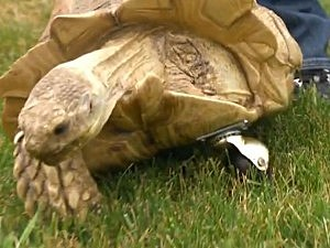 Tortoise Gets Swivel Wheel