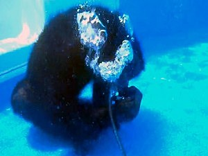 Cooper The Chimpanzee Learns to SCUBA Dive