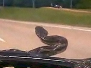 Stowaway Snake