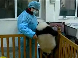 Baby panda tries to escape from crib