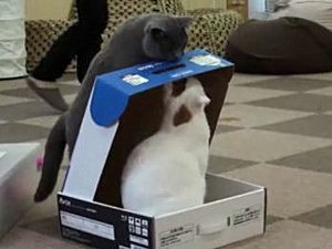 Bully cat traps other cat in box