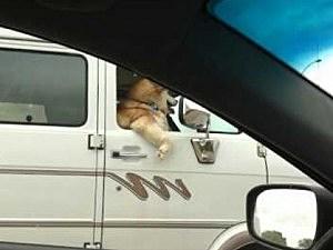 cool dog in car