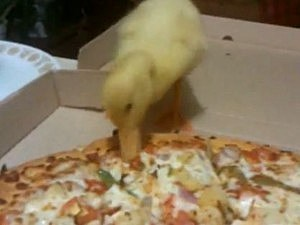 Duck eating pizza