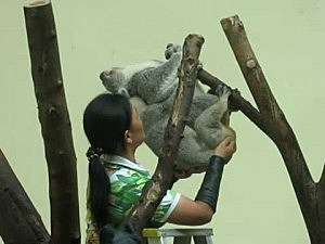 Zoo Employee Helps Koalas Mate