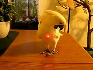 Cockatoo confused by laser