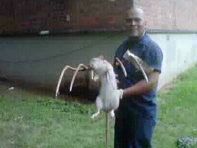 Huge rat killed with pitchfork