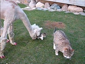 Manicured Alpaca Meets A Kitten