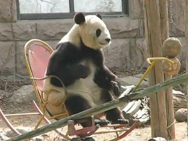 Panda Chills Out in Rocking Chair [VIDEO]