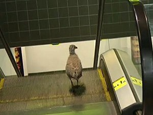 Bird on escalator