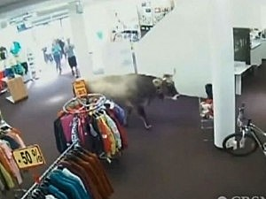 Cow in sporting goods store