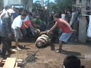 Massive crocodile captured