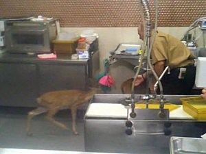 Two fawns in a supermarket