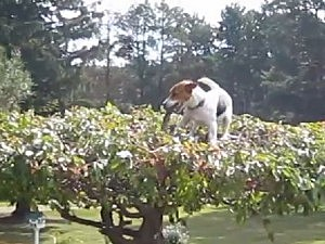 dog climbs tree to fetch stick