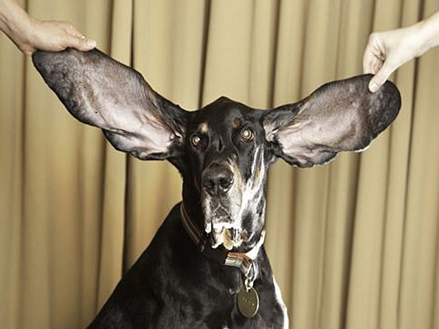 Dog with longest ears