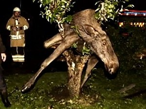 Drunk moose caught in tree
