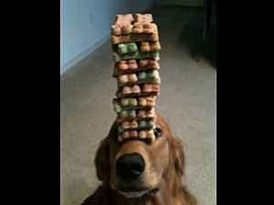 Obedient dog balances treats on snout