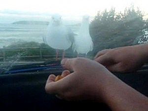 Seagulls tricked by windshield