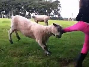 Sheep rams girl