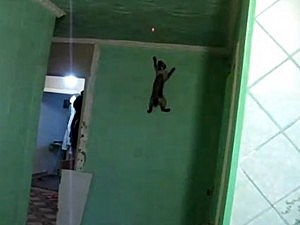 Spider cat scales wall
