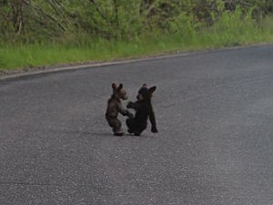 Tiny bear cubs fight