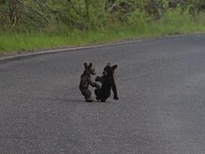 Tiny bear cubs fight