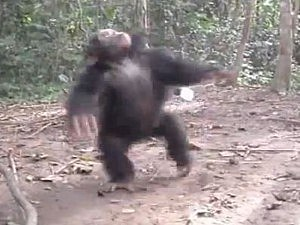 Chimp spins