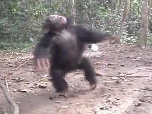 Chimp spins