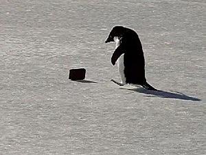 Penguin ice