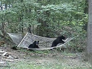 bear cubs on hammock