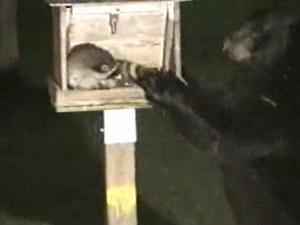 Bear racoon