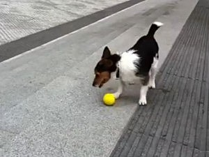 jack russell fetch