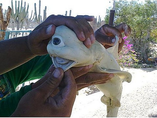 one-eyed Cyclops shark