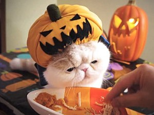 pumpkin cat eating pumpkin