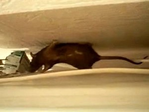 rat climbing