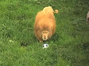 triton soccer playing lion
