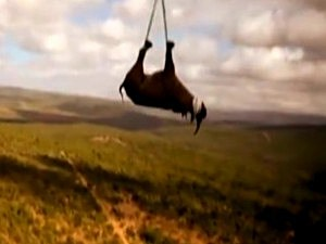 Airlifting a Rhino