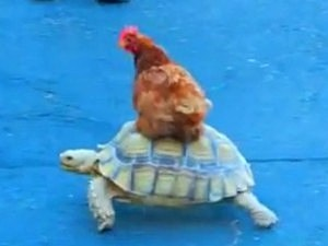 Chicken Rides a Turtle