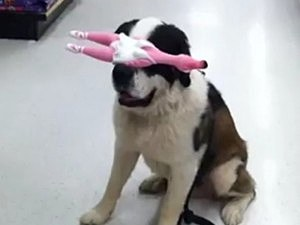 Dog Balances Things on Head