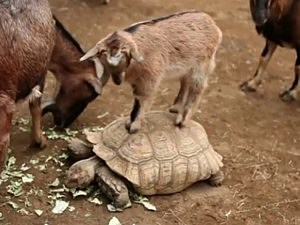 Goat Rides a Turtle