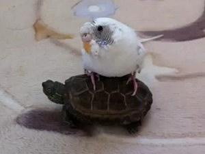 Parakeet Rides a Turtle