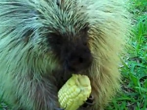 Porcupine Won't Share Corn