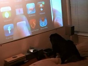 Pug Hates iPhone