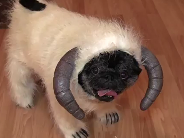 Cute Pug Dressed As A Wampa From Star Wars Video