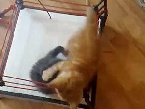cat wrestling