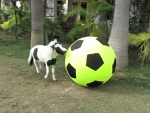 mini horse plays soccer