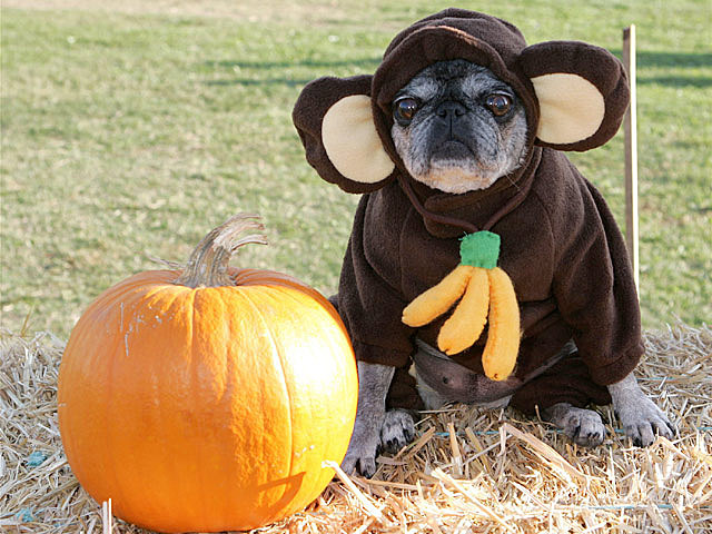 Monkey Dog Loves Pumpkins