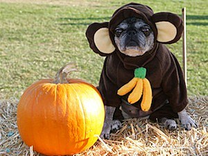 monkey dog pet costume thanksgiving facebook pictures
