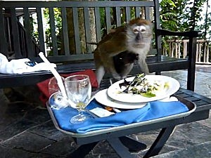 monkey steals food